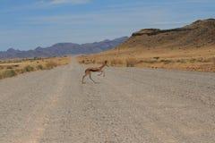 Wild springbokcrossinggrusväg namibia Royaltyfri Fotografi