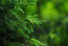 Wild Spruce Royalty Free Stock Images