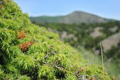 Wild Spruce in the mountains Stock Photos