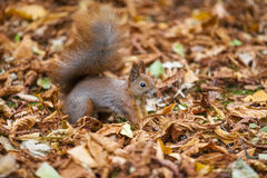 A wild squirel captured in a cold sunny autumn day.  Stock Images