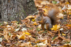 A wild squirel captured in a cold sunny autumn day.  Stock Photo