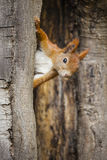 A wild squirel captured in a cold sunny autumn day.  Royalty Free Stock Photo