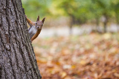A wild squirel captured in a cold sunny autumn day.  Royalty Free Stock Image