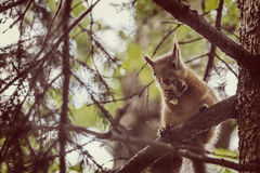 A wild squirel seating on old oak tree in a hot summer day. In park Royalty Free Stock Photo