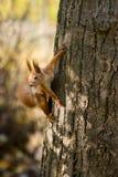 Wild squirrel. Royalty Free Stock Photo