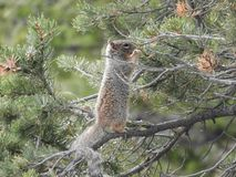 Wild squirrel in tree eating - Grand Canyon National Park royalty free stock images