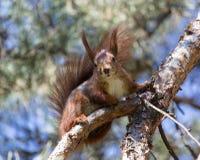 Wild squirrel in a botanical garden. Kiev, spring 2014 Stock Image