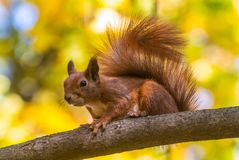 Wild squirrel on the branch of tree Royalty Free Stock Photography