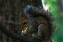 Wild squirrel in central park new york royalty free stock image