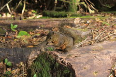 Wild Squirrel Royalty Free Stock Photo