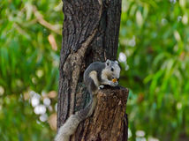 Wild squirrel eating a dry fruit on the tree Stock Images