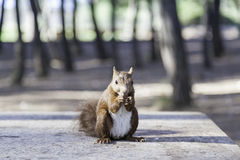 Wild squirrel eating hazelnuts Stock Image