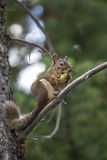 Wild Squirrel eating Pine Cone Royalty Free Stock Images