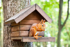 Wild squirrel eats in his house. Wild red european squirrel eats in his house Royalty Free Stock Photo