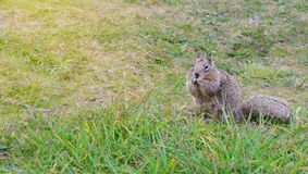 Wild squirrel eats a nut Royalty Free Stock Photo
