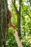 A wild squirrel in a forest on a tree eats a nut from a person`s hand. Feeding wild animals royalty free stock image