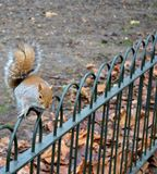 Wild squirrel. From a park Royalty Free Stock Images