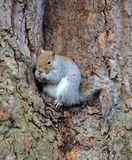 Wild squirrel. From a park Royalty Free Stock Photo