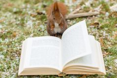 Wild squirrel reading a book outdoors royalty free stock photo