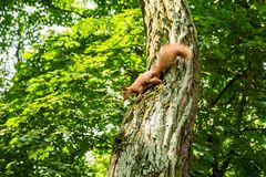 A wild squirrel sits on a tree in the forest royalty free stock photo