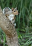 Wild Squirrel on the tree. Cute wild squirrel seating on the tree Royalty Free Stock Photography
