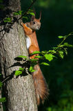 Wild squirrel on the tree Royalty Free Stock Photo