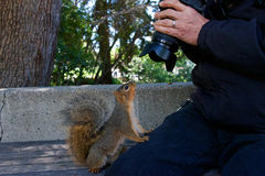 Wild Squirrel very tame looking at camera with photographer. Wild squirrel in local neighborhood fed so often by people she starts climbing on the photographer Stock Photos