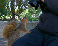 Wild Squirrel very tame looking at camera with photographer. Wild squirrel in local neighborhood fed so often by people she starts climbing on the photographer Royalty Free Stock Photography