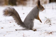 Wild squirrel in the wild, gray animal and white snow. Forest in winter Stock Photography