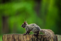 Wild squirrel in the woods. Wild squirrel looking for nuts in the woods Stock Images