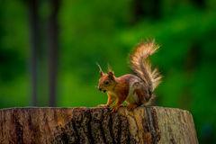Wild squirrel in the woods. Wild squirrel looking for nuts in the woods Royalty Free Stock Photo