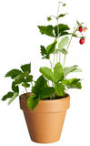 Wild srawberry Royalty Free Stock Photography