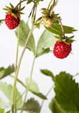 Wild srawberry Royalty Free Stock Photo