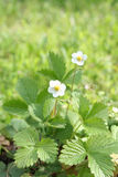 Wild Srawberry  plant with flowers Royalty Free Stock Photography