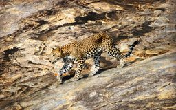 Wild Sri Lankan leopard in the Yala National Park. Leopard is one type of mysterious felid, very beautiful Stock Photos