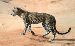 Wild Sri Lankan leopard in the Yala National Park. Leopard is one type of mysterious felid, very beautiful Stock Images