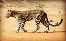 Wild Sri Lankan leopard in the Yala National Park. Leopard is one type of mysterious felid, very beautiful Royalty Free Stock Photo