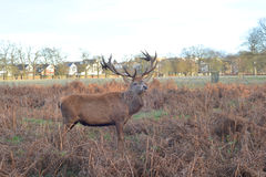 Wild stag. A photo of a stag in a park of bracken Stock Photos