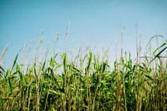 Wild stalks of cane on blue sky Royalty Free Stock Photography