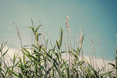 Wild stalks of cane on blue sky Stock Image