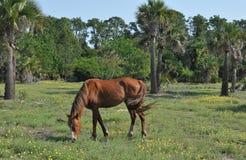 Wild Stallion. Grazing in a field on Cumberland Island, Georgia stock images