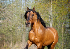 Wild stallion Royalty Free Stock Photos