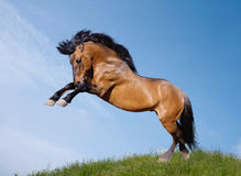 Wild stallion. Playfull on a hill Royalty Free Stock Images