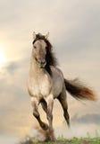 Wild stallion. Running in sunset Royalty Free Stock Photography