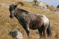 Wild Stallion Royalty Free Stock Images