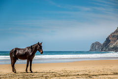 Wild stallion on beach. A wild stallion pauses on a beautiful remote beach Stock Image