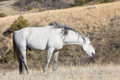 Wild Stallion grazing on grass Royalty Free Stock Image