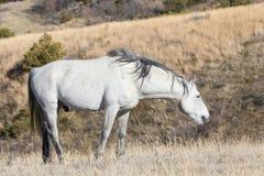 Wild Stallion grazing on grass. Wild horse grazing on grass Royalty Free Stock Image