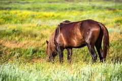 Wild stallion grazing on summer meadow Royalty Free Stock Images