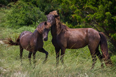 Wild Stallion and Mare. A stallion being playful with one of his mares Stock Images